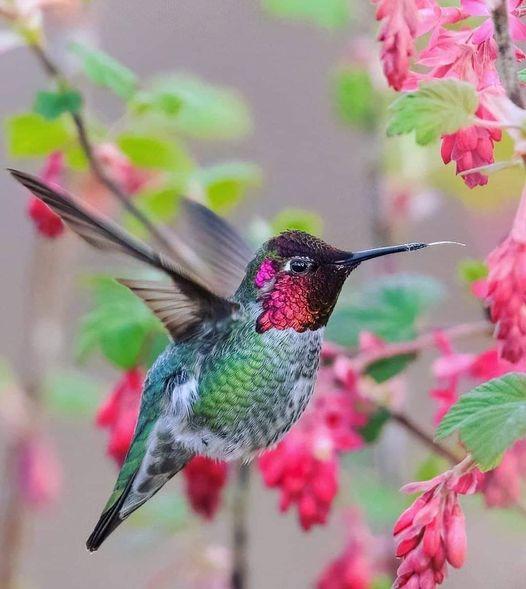 Annas Hummingbird - The Most Beatiful Birds - En Güzel Kuşlar