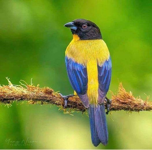 Black Chinned Mountain Tanager - The Most Beatiful Birds - En Güzel Kuşlar