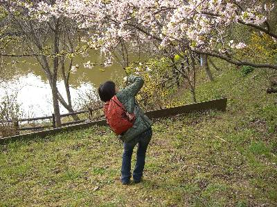 桜を激写する妻