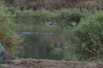 There is a Hippo there, I promise!