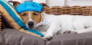 Com sintomas semelhantes aos da gripe humana, a doença comum nos cães se torna mais frequente com a chegada das estações mais frias