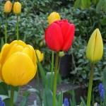 Amsterdame tęsiasi tulpių šventė – sužydėjo gėlių laukai [Video]
