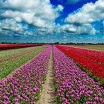 Olandų dovana Lietuvai – 2 000 tulpių svogūnėlių