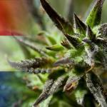 Narkotikų legalizavimas – Nyderlandų pavyzdys