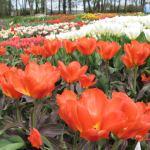 Nereikia nei Nyderlandų: tulpės jau žydi Kauno botanikos sode