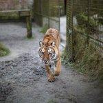 Olandijoje į laisvę pabėgę du tigrai – sugauti
