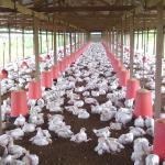 Dėl toksinių medžiagų uždarytos septynios paukščių auginimu besiverčiančios bendrovės