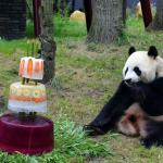 Didžiulės pandos atšventė savo gimtadienį