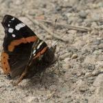 Savaitgalio planai: visi kviečiami skaičiuoti drugelius