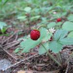 Klimato kaita: šimtai augalų dings iš Nyderlandų