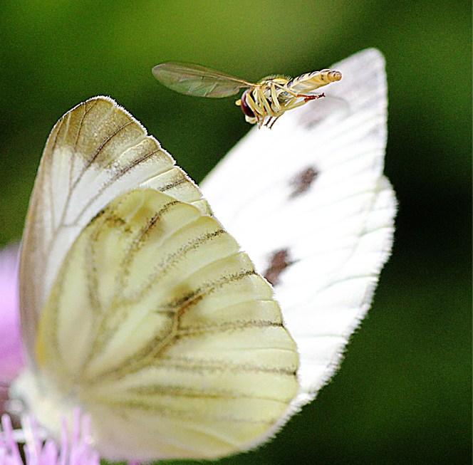 Der Frust des Schmetterlingjägers