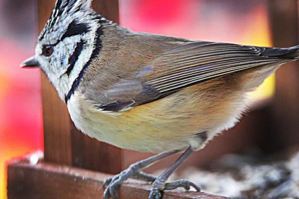 Haubenmeise am Vogelhaus