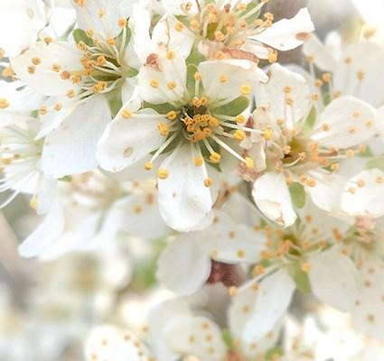 Im Rausch der Blüten