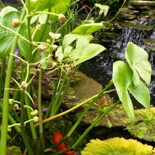 'Coy Pond'