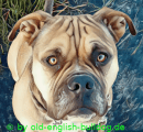 old-english-bulldog