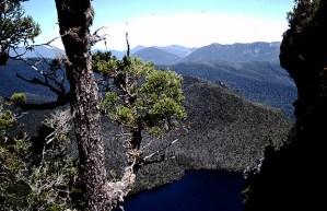 King Billy Pine (Athrotaxis selaginoides)