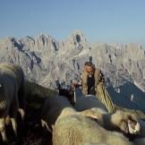 Il gregge di Angelo Moltrer, sullo sfondo le Pale di San Martino (ph A. Malacarne)