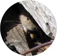 Il topolino di Cima Undici