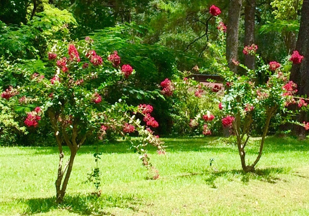 Severely pruned crepe myrtles.
