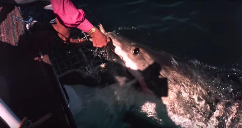 Valerie feeds a shark by hand