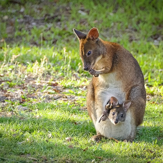 Pademelon with joey