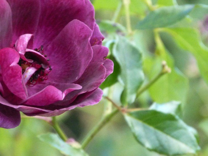 A deep purple rose against green leaves