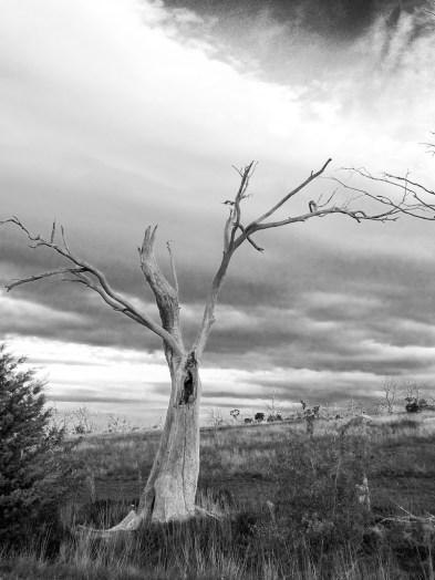 Dead tree agaisnt a stormy sky