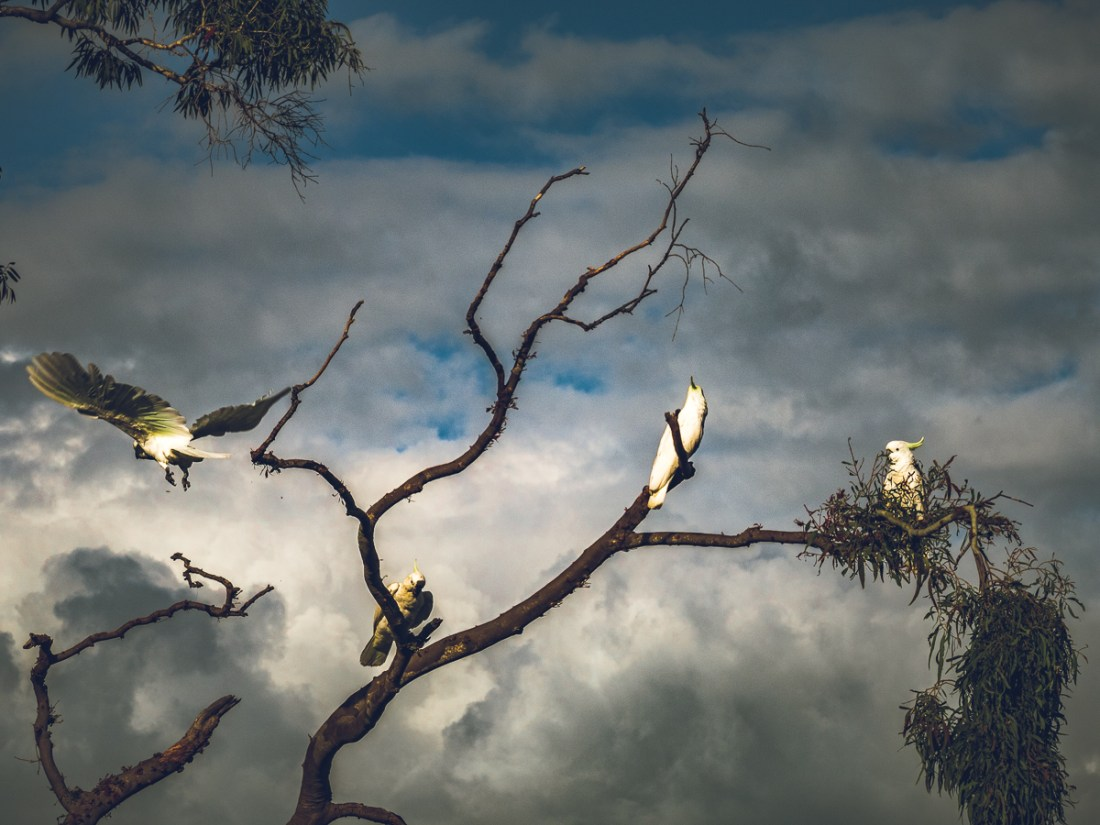 four cockatoos in a tree