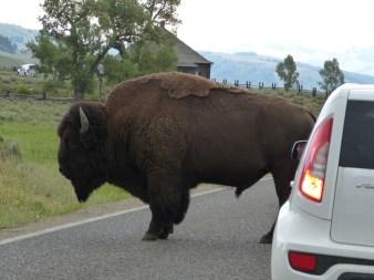 How big is a bison