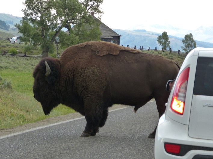 How big is a bison
