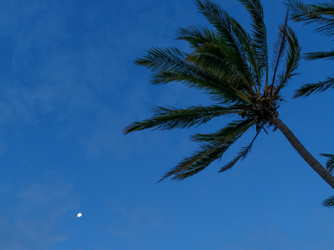 Palm tree in the blue hour