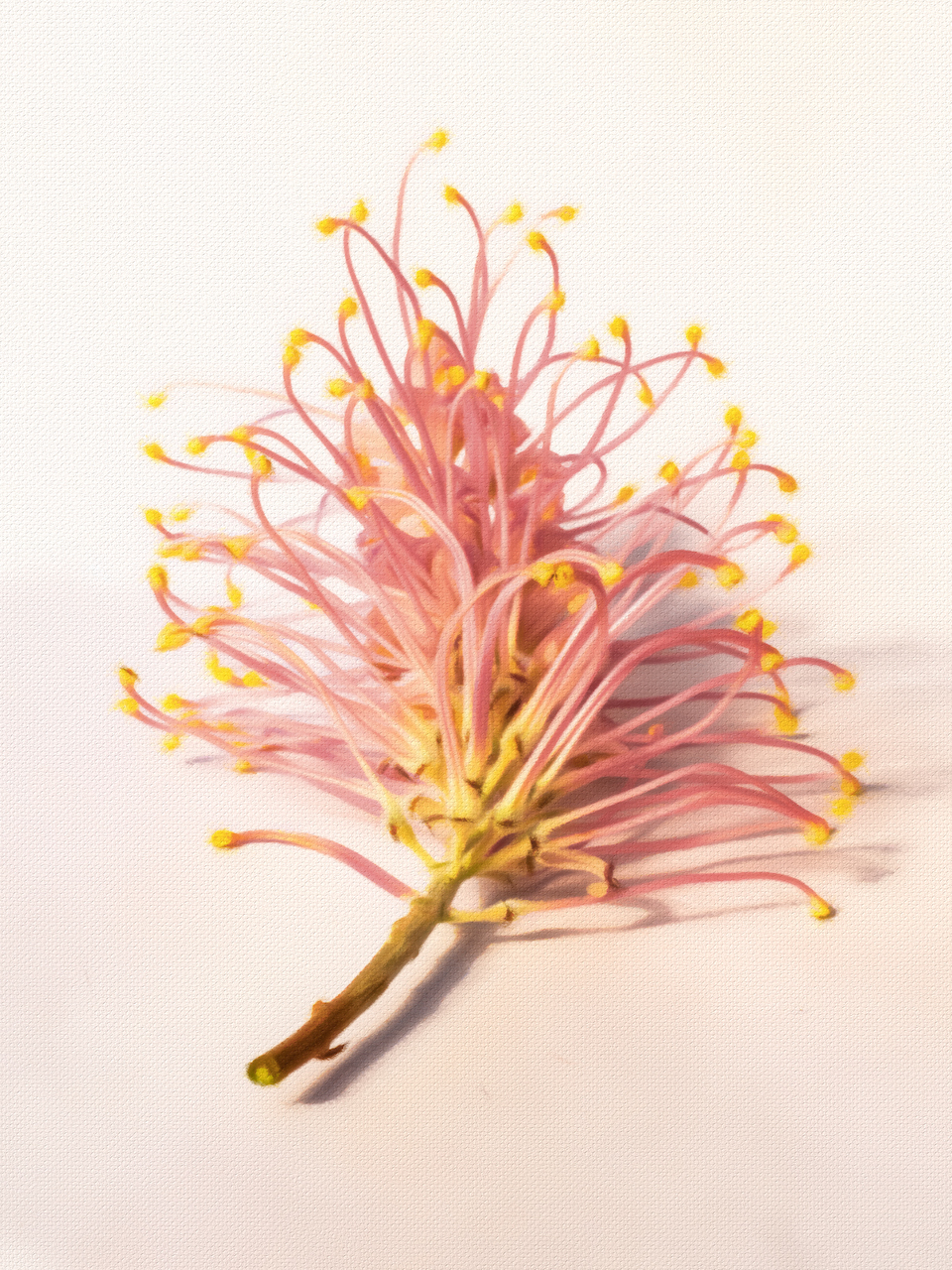 Grevillea flower with stem pastel sketch