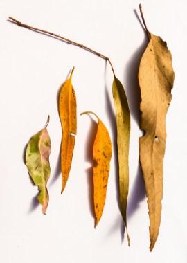 Gum leaves 3