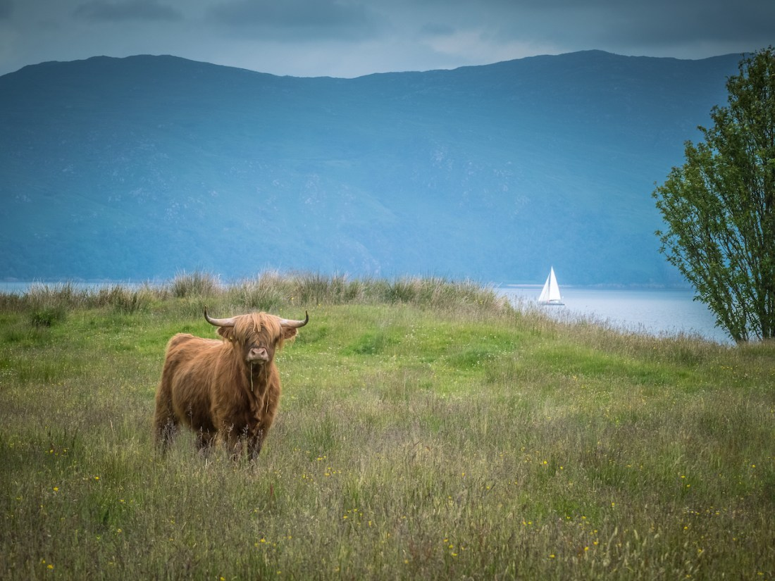 a highland cow in the foreground and a sail boat in the background