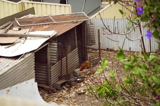 Backyard Chooks - Cringila