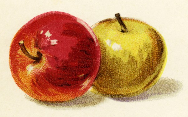 red and yellow apples vintage illustration