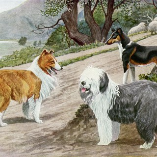 Collie, Old English Sheep Dog, Smooth Collie