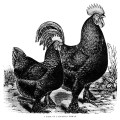 free vintage image, free vintage rooster clipart, langshan fowl, chicken, rooster, hen, black and white rooster illustration, farm clipart