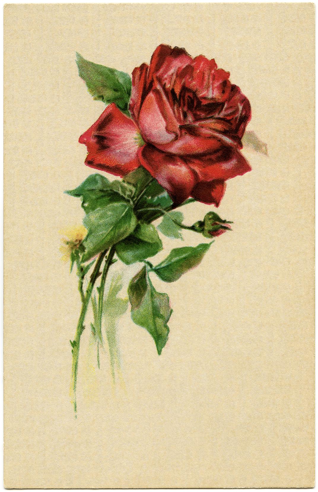 Free Vintage Image Red Rose Birthday Postcard