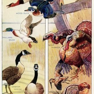 Free Vintage Image ~ Canada Game Birds 1912
