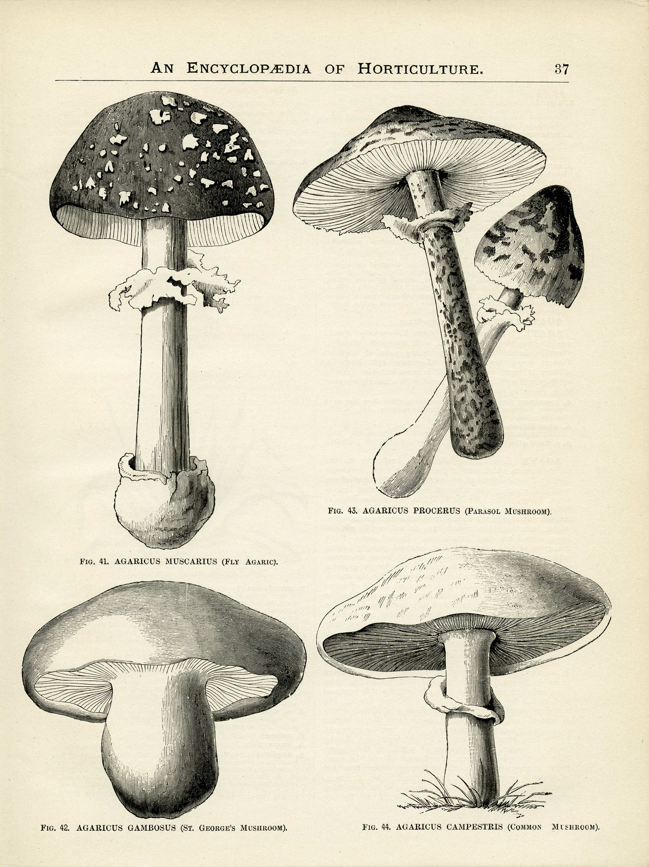 Free Vintage Image Mushrooms Page And Clip Art