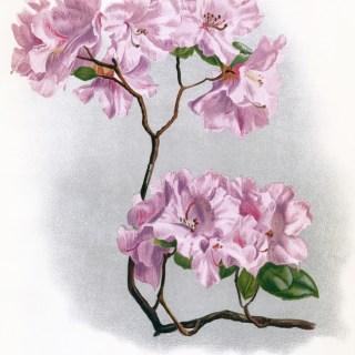 Free Vintage Image ~ Rhododendron Flower Illustration