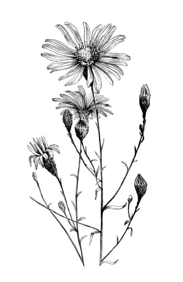 aster flower free vintage clip
