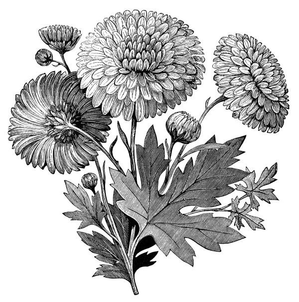 Early Flowering Chrysanthemum Free Vintage Clip Art