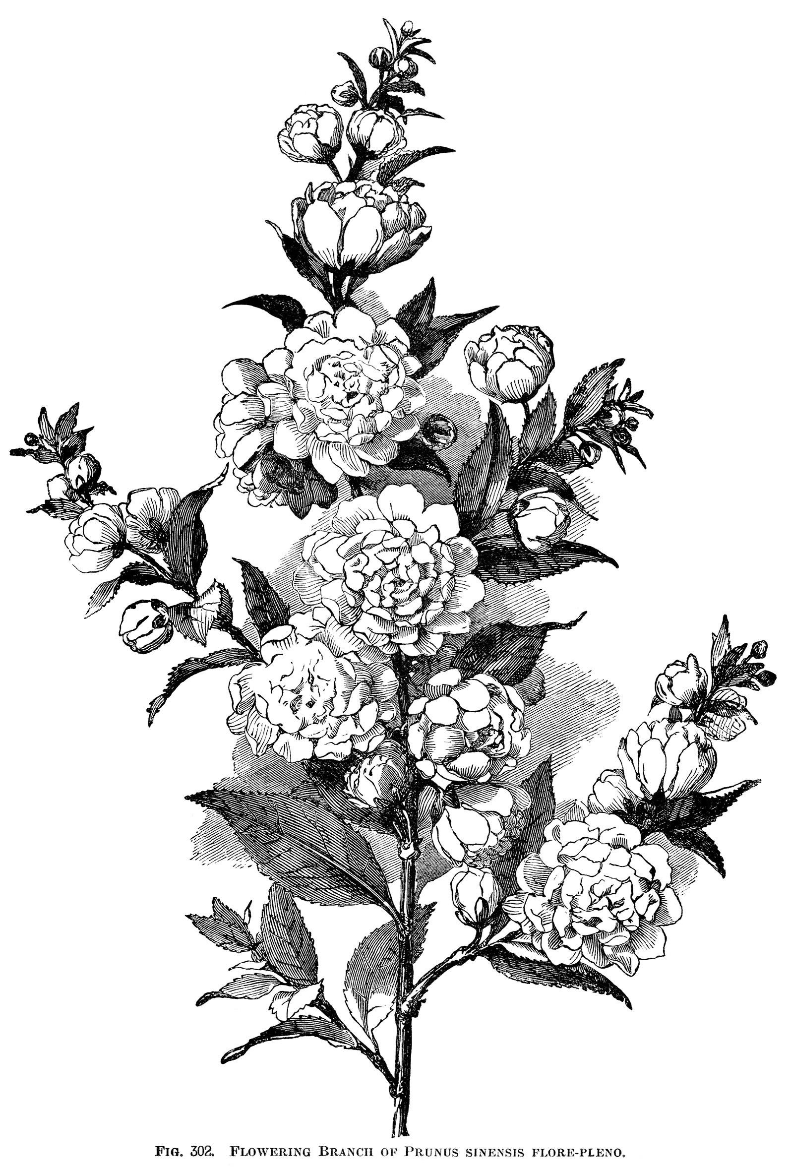 Flowering Plum Branch Free Vintage Engraving