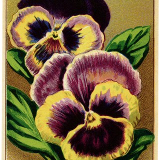 English Pansy French Seed Packet Label ~ Free Vintage Image