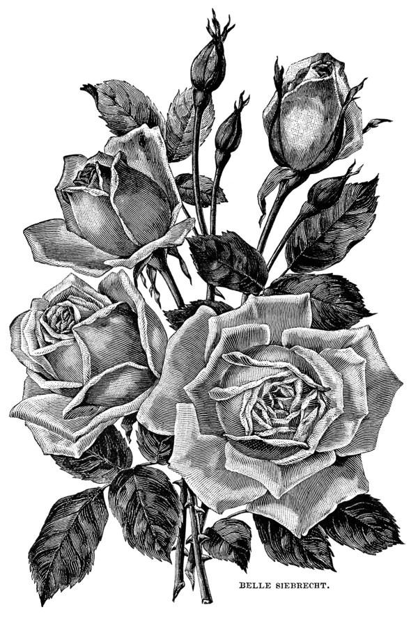 vintage roses garden catalogue