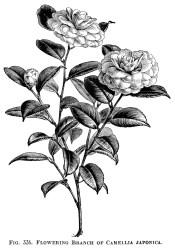 clip rose clipart japanese camellia branch drawing flowering flower drawings garden olddesignshop illustration botanical flowers japonica roses printable plant engraving
