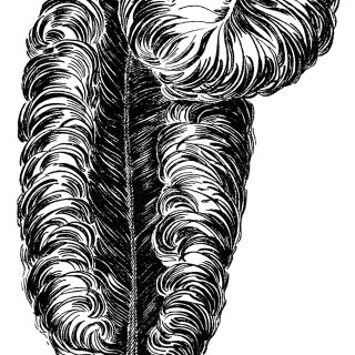 Ostrich Plume ~ Free Vintage Clip Art