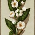 Victorian trading card, tea plant illustration, free vintage ephemera, tea plant clip art, vintage botanical plant image